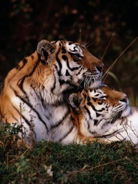 Siberian Tigers (Panthera Tigris Altaica) by Dr. Maurice G. Hornocker