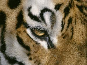 The Eye of a Tiger and Part of its Facial Markings by Dr. Maurice G. Hornocker
