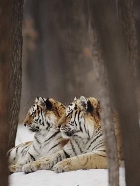 Two Siberian Tigers at Rest by Dr. Maurice G. Hornocker