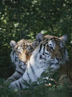 Two Tigers Lie Next to Each Other by Dr. Maurice G. Hornocker