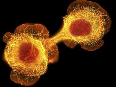 HaCaT Culture Cells, Light Micrograph