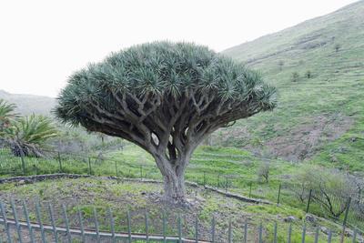 https://imgc.allpostersimages.com/img/posters/dragon-tree-drago-de-agalan-dracaena-draco-near-alajero-la-gomera-canary-islands-spain_u-L-PWFMTI0.jpg?p=0