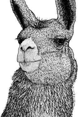 Llama by Drawings & Artwork by Karl Addison