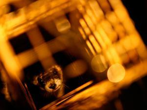 A Blackfooted Ferret Awaits Transport to the Mobile Lab in Wyoming by Drew Rush