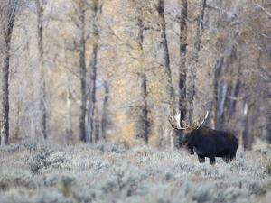A Bull Moose on an Early Fall Morning in Grand Teton National Park by Drew Rush