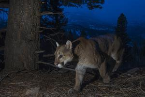 A Remote Camera Captures a Mountain Lion in Wyoming's Greater Yellowstone Ecosystem by Drew Rush