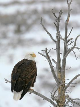 Bald Eagle Is Perched and Overlooking it's Surroundings in Winter by Drew Rush