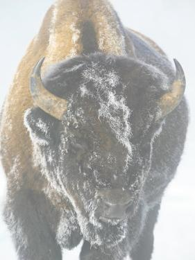 Bison Covered by Ice and Fog in Yellowstone National Park by Drew Rush