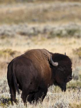 Bull Bison in Grand Teton National Park, Wyoming by Drew Rush