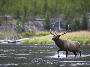 Bull Elk Wades Through the Madison River in Yellowstone by Drew Rush