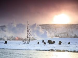 Group of Bison Feeding in the Snow During the Winter in Yellowstone by Drew Rush