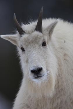 Mountain Goats are an Invasive Species in the Greater Yellowstone Ecosystem by Drew Rush