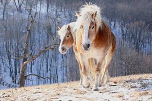 Two Horses on Snowy Hill in Winter by Driftless Studio