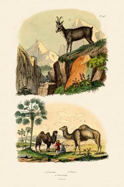 Dromedary, 1833-39