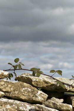 Dry Stone Wall with Bramble, Cotswolds, Gloucestershire UK
