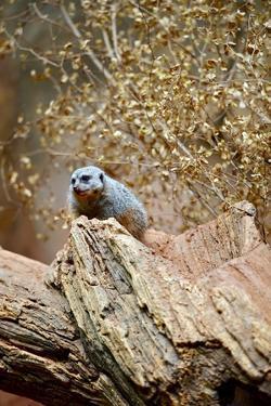 Meerkat on the Tree by duallogic