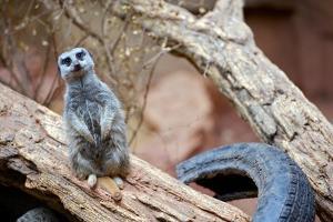 Meerkat - Suricate by duallogic