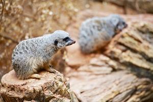 Meerkats by duallogic