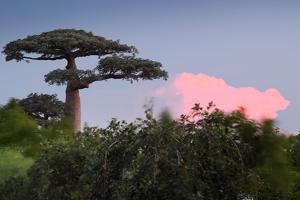 Baobab Tree during Sunset. Madagascar by Dudarev Mikhail