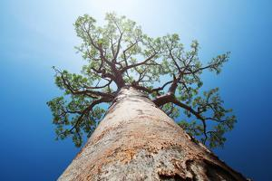 Baobab Tree with Green Leaves on a Blue Clear Sky Background. Madagascar by Dudarev Mikhail