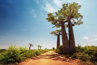Baobab Trees along the Unpaved Red Road at Sunny Hot Day. Madagascar by Dudarev Mikhail