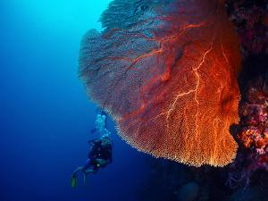 Lady Diver Exploring Tropical Bright Reef with Big Hard Coral on Foreground by Dudarev Mikhail