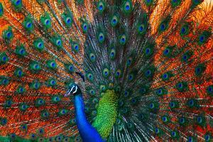 Peacock Showing Feathers on the Bright Red Background by Dudarev Mikhail