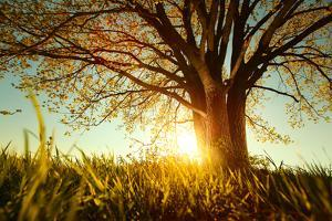 Spring Tree with Fresh Leaves on a Meadow at Sunset by Dudarev Mikhail