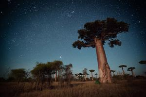 Starry Sky and Baobab Trees Highlighted by Moon. Madagascar by Dudarev Mikhail