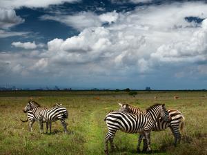 Zebras in Savanna of Nairobi National Park. Nairobi Skyline is Visible on the Horizon. Kenya by Dudarev Mikhail