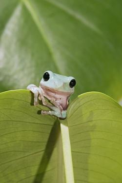 Dumpy Treefrog on Leaf Front View