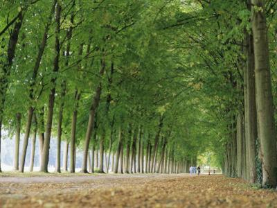 Avenue of Poplar Trees, Parc De Marly, Western Outskirts of Paris, France, Europe