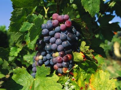 Grapevine, Vineyard, France