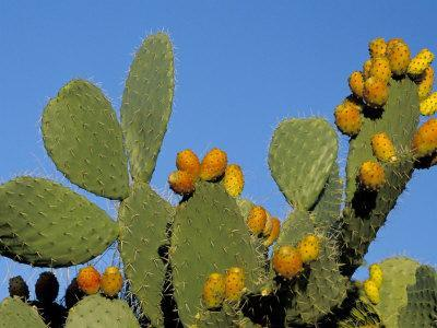 Prickly Pear Cactus, Lower Slopes, Mount Etna, Sicily, Italy