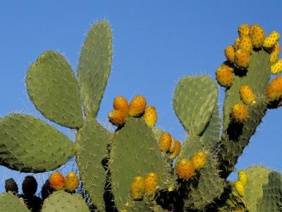 Prickly Pear Cactus, Lower Slopes, Mount Etna, Sicily, Italy by Duncan Maxwell