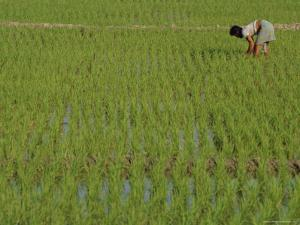 Share-Cropper Tending Rice in Paddyfield, Parganas District, West Bengal State, India, Asia by Duncan Maxwell
