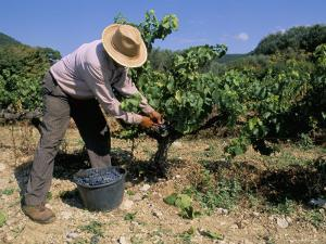 Spanish Seasonal Worker Picking Grapes, Seguret Region, Vaucluse, Provence, France by Duncan Maxwell