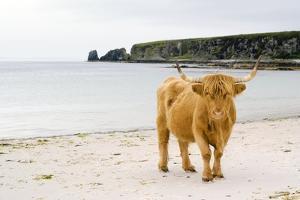 Highland Cow on a Beach by Duncan Shaw