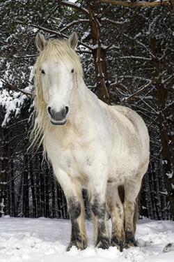 Highland Pony by Duncan Shaw