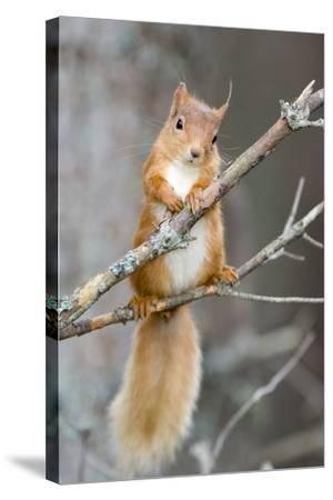Red Squirrel on a Branch