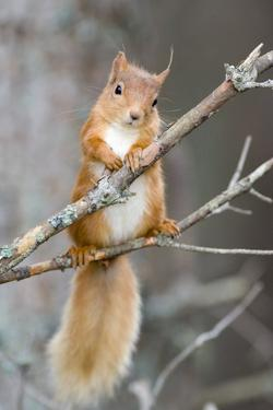 Red Squirrel on a Branch by Duncan Shaw