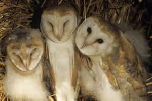 Young Barn Owls by Duncan Shaw