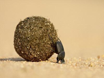 https://imgc.allpostersimages.com/img/posters/dung-beetle-pushing-a-ball-of-dung-masai-mara-national-reserve-kenya-east-africa-africa_u-L-P7NRXC0.jpg?p=0