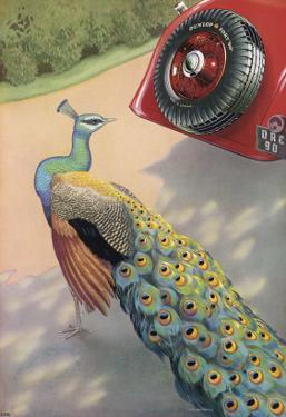 Dunlop Tyre Advertisement, Featuring a Peacock