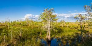Dwarf Cypress Trees in a field, Everglades National Park, Florida, USA