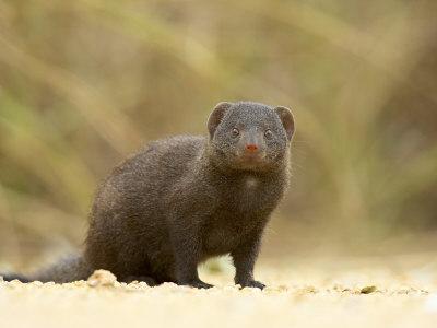 https://imgc.allpostersimages.com/img/posters/dwarf-mongoose-kruger-national-park-south-africa-africa_u-L-P7NRY80.jpg?p=0