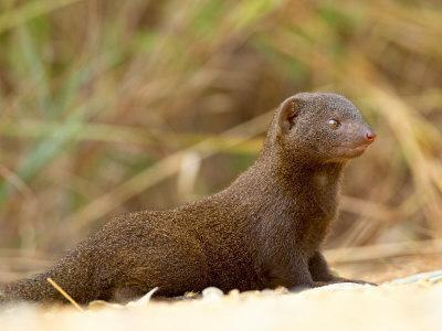 https://imgc.allpostersimages.com/img/posters/dwarf-mongoose-kruger-national-park-south-africa-africa_u-L-P7NRZ40.jpg?p=0