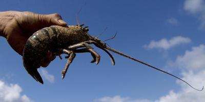 A Fisherman Holds Up a Lobster at Timang Beach in Gunung Kidul, Near the Ancient City of Yogyakarta