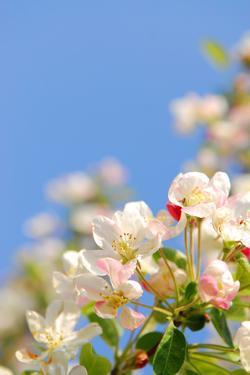 Apple Blossom on Blue Sky in Spring Garden 'Keukenhof', Holland by dzain