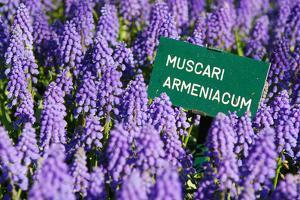 Blue Grape Hyacinth with Latin Name Sign 'Muscari Armeniacum' in Spring Garden 'Keukenhof', Holland by dzain